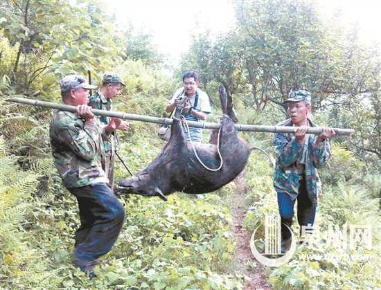 野猪保护之困打不得防不住 活动猖獗频繁出没威胁人畜