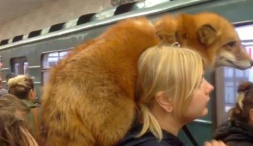爱皮草又不忍杀生?俄罗斯女子肩扛狐狸搭地铁