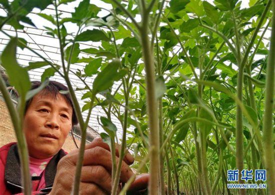 (经济)(1)河北肃宁:科学育苗助农增收