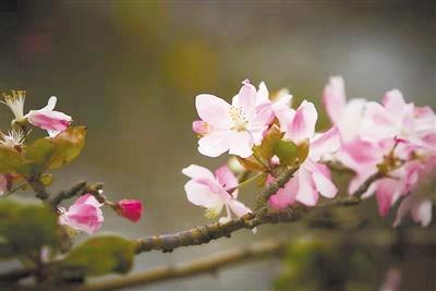 """""""不安分""""海棠引围观 竟在大冬天开花"""