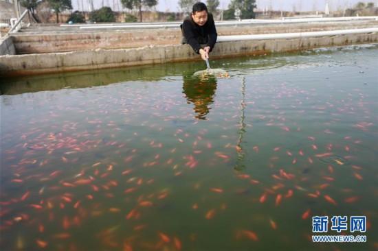 江苏盱眙:发展观赏鱼养殖 调结构促增收