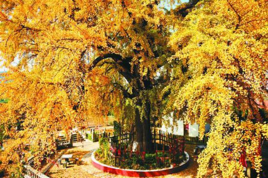 """落叶之前,古树""""满身尽带黄金甲""""。 谢斌 摄"""