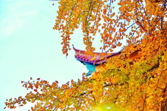 蓝天黄叶相互映衬。 谢斌 摄