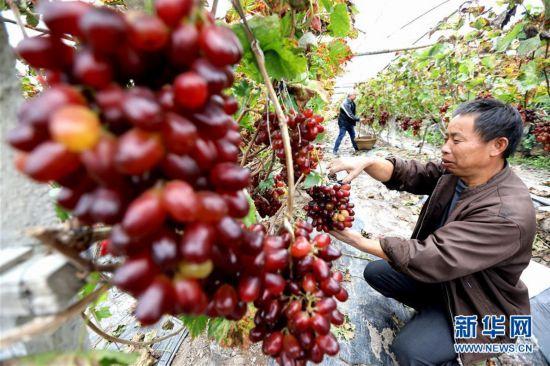 #(经济)(1)广西兴安:晚熟葡萄喜丰收