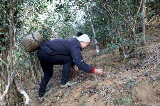 三江:油茶产业成为侗乡群众脱贫主渠道