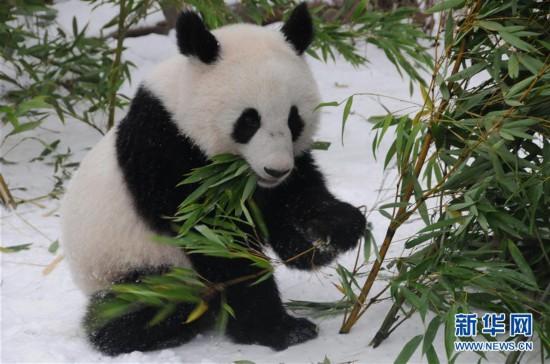 (国际)(3)奥地利出生的大熊猫龙凤胎即将返回中国