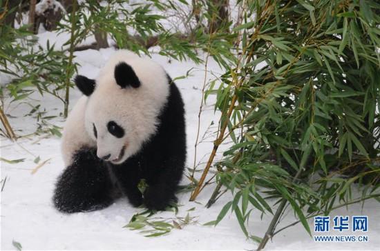 (国际)(2)奥地利出生的大熊猫龙凤胎即将返回中国