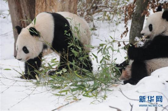 (国际)(5)奥地利出生的大熊猫龙凤胎即将返回中国