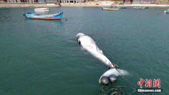 """重2.5吨死亡""""须鲸""""现山东荣成海域"""