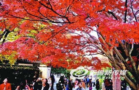 无锡惠山古镇枫叶已红 为景区增添不少亮色