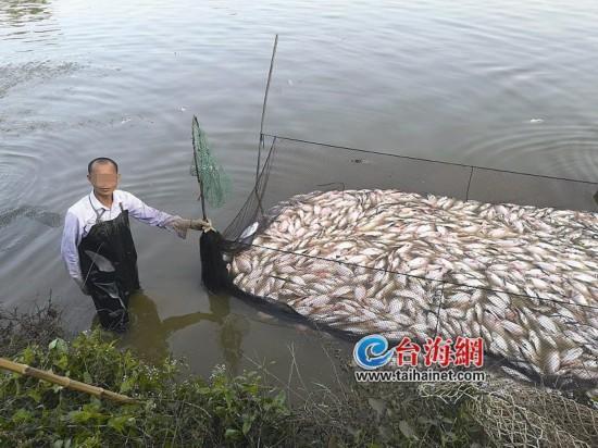 漳州石亭镇庵山村20亩鱼塘的鱼一夜死光光 两个鱼塘损失40多万