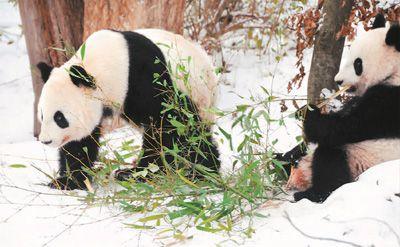 大熊猫龙凤胎将回中国