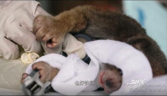 《丹行线》第三期开播 朱丹做手术抢救野生懒猴