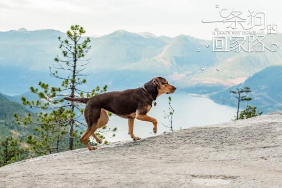 《一条狗的回家路》萌犬700多个日夜悬命冒险