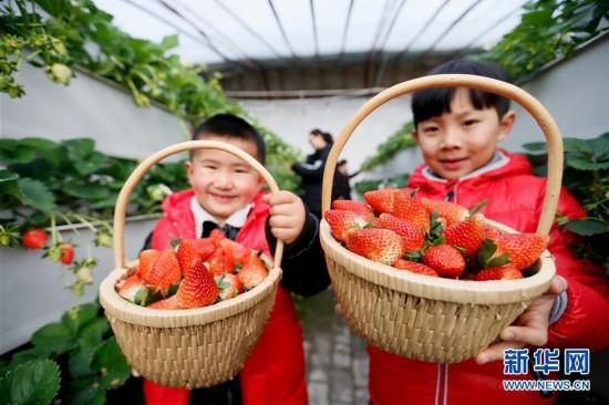 """#(经济)(1)山东即墨:""""立体草莓""""寒冬上市"""