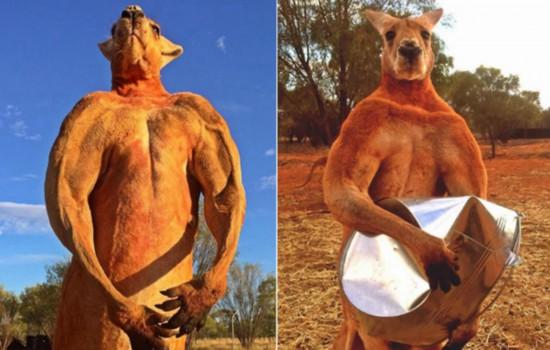 澳12岁网红袋鼠离世曾因肌肉健美一举成名
