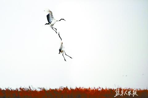 大批丹顶鹤飞抵盐城国家级珍禽自然保护区越冬