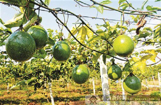柳州柳江区生态园的黄金百香果 脱贫致富的好帮手
