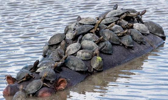 可爱!南非数十只乌龟搭乘河马背淡定晒太阳