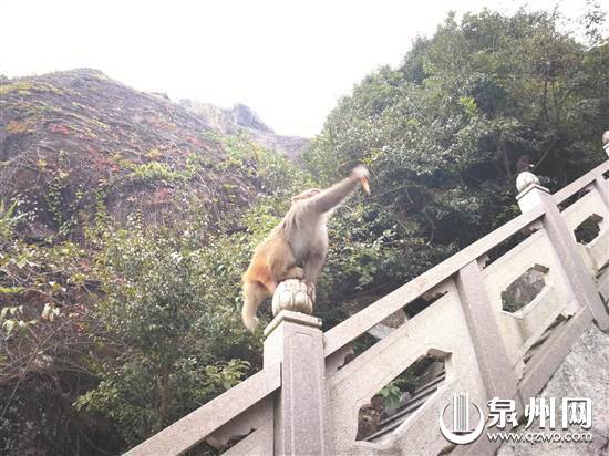 """超萌!三只顽猴""""闯荡""""泉州仙公山"""