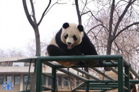 """""""格格""""驾到!天津动物园将再引进一只大熊猫"""