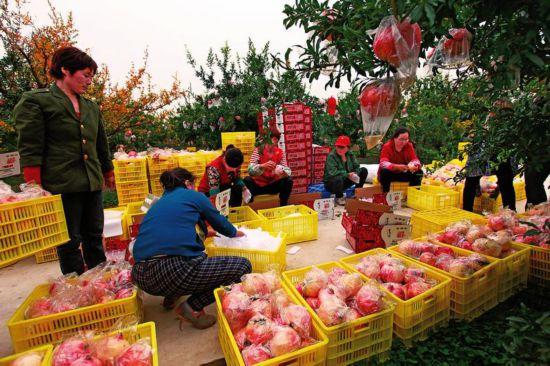 火红的石榴让老百姓的日子更红火——西安市临潼区多措并举促进石榴产业发展综述