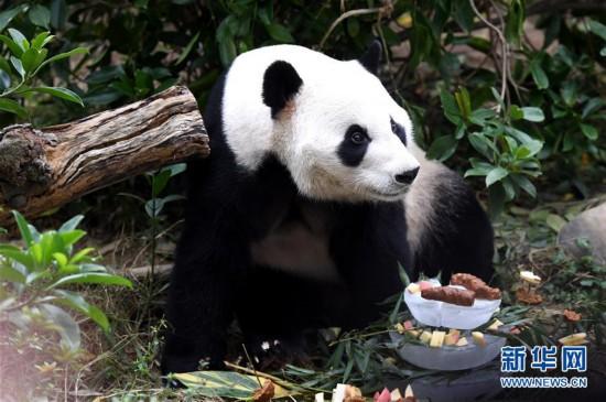 """#(社会)(1)广西柳州动物园为大熊猫""""明浜""""举办生日会"""