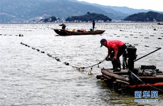 (经济)(1)福建霞浦:渔民海上忙冬播