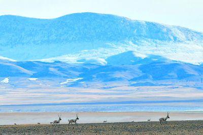 生态影像:藏羚羊的家园