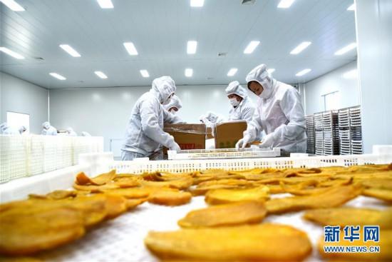 山东枣庄:工厂化加工地瓜 铺就冬闲增收路