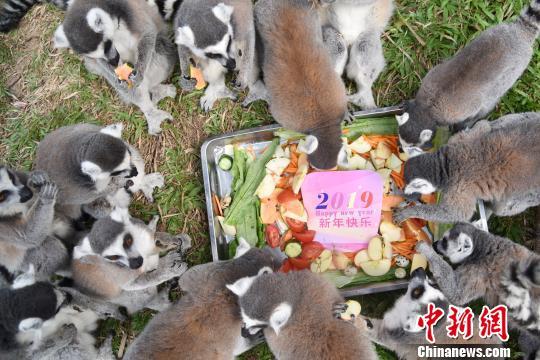 """环尾狐猴家族欢聚一起享用丰盛的""""迎新年大餐"""" 李木生 摄"""