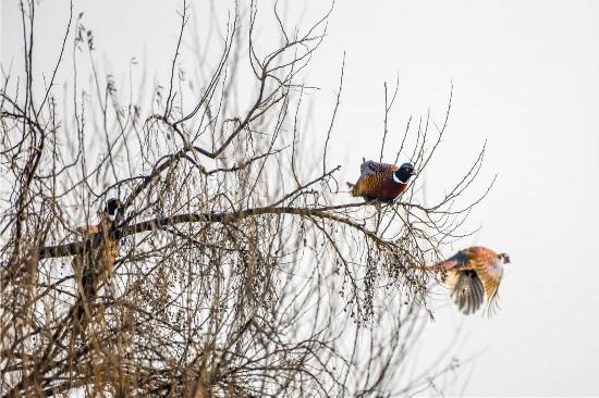 滨河大道环颈雉鸡成群站树梢