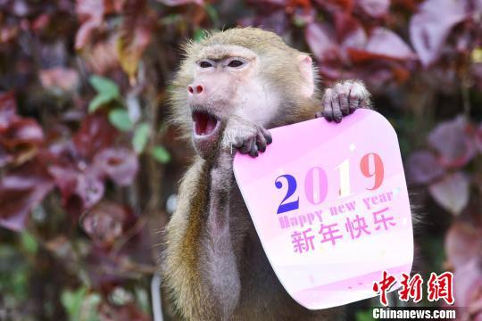 """狒狒拿着""""2019新年快乐""""特色贺卡显得格外醒目 李木生 摄"""