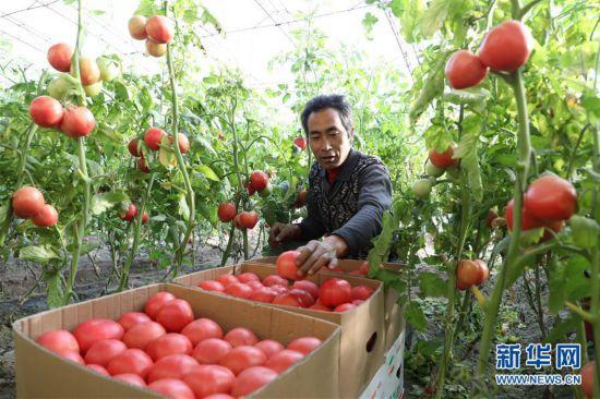 """(经济)(1)河北唐山:设施农业让农民""""冬闲""""变""""冬忙"""""""