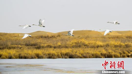 图为甘肃敦煌阳关国家级自然保护区的越冬候鸟。 王斌银 摄