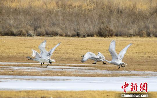图为越冬候鸟塞上起舞。 王斌银 摄
