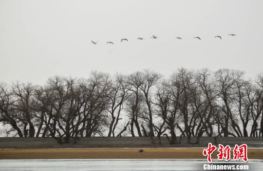 图为候鸟在飞翔在空中。 王斌银 摄