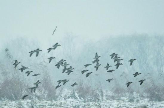 巢湖湿地野鸭过冬
