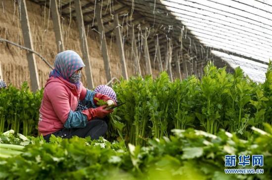 (经济)(4)宁夏中卫:设施蔬菜种植助力农民增收