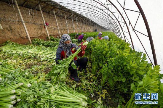 (经济)(3)宁夏中卫:设施蔬菜种植助力农民增收