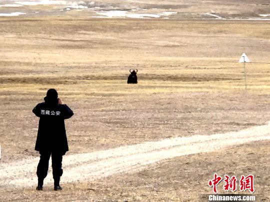 """西藏自治区森林公安局羌塘国家级自然保护区冬季联合巡护专项行动巡护队阿里组,对阿里地区境内的羌塘国家级自然保护区开展了巡护工作,行程5300多公里,巡护区域未发现违法行为。图为巡护队在保护区内与野牦牛""""对视""""。 阿里地区森林公安局供图 摄"""