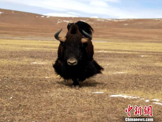 西藏自治区森林公安局羌塘国家级自然保护区冬季联合巡护专项行动巡护队阿里组,对阿里地区境内的羌塘国家级自然保护区开展了巡护工作,行程5300多公里,巡护区域未发现违法行为。图为保护区内的野牦牛。 阿里地区森林公安局供图 摄