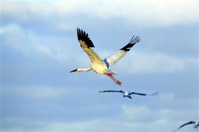 白鹤飞翔矢量图