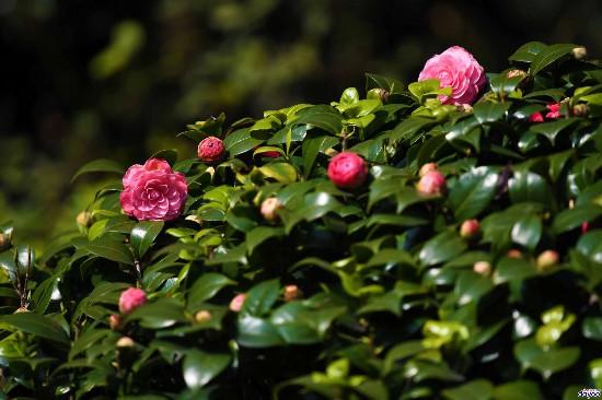 南国春来早,白云山上茶花盛开