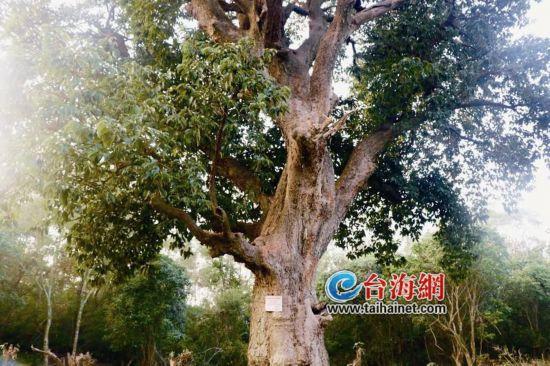 """漳州东山惊现珍稀古树""""木单"""" 已有550余年历史"""