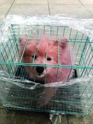 常州男子网购藏獒 收到只小草狗还被染成粉色