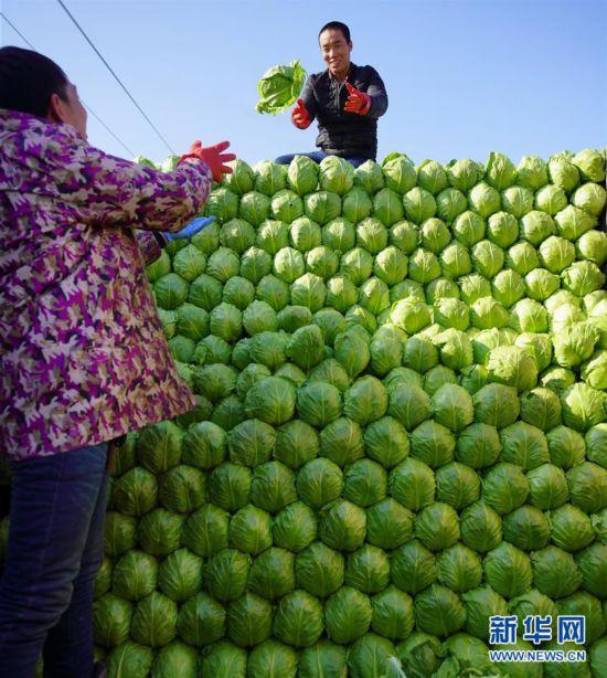 """(新春走基层)(2)河北滦南:优质果蔬丰富节日""""菜篮子"""""""