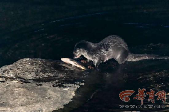 据了解,水獭是国家二级保护动物,躯体长,吻短,眼睛稍突而圆,耳朵小