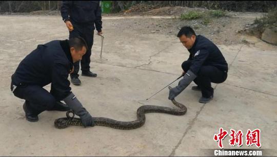 修路挖出2.4米长冬眠缅甸蟒胆大村民将蟒蛇抱回村内