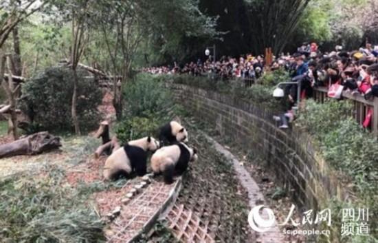 女童攀坐护栏不慎跌入大熊猫活动场,安保人员果断施救(图片由网友提供)